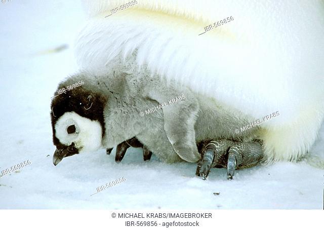 Emperor penguin, Aptenodytes forsteri, Dawson-Lambton Glacier, Antarctica