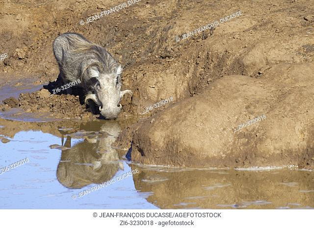 Common warthog (Phacochoerus africanus), adult, drinking at a waterhole, water reflection, Addo Elephant National Park, Eastern Cape, South Africa, Africa