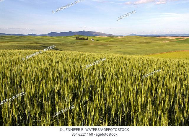 Fields in the Palouse farming area of Eastern Washington State, USA