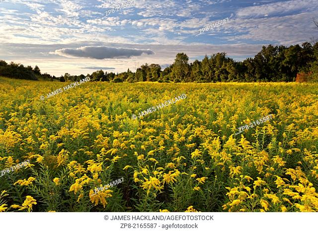 A vast field of Goldenrod in with diffused sunlight at Rogers Reservoir, East Gwillimbury, Ontario, Canada