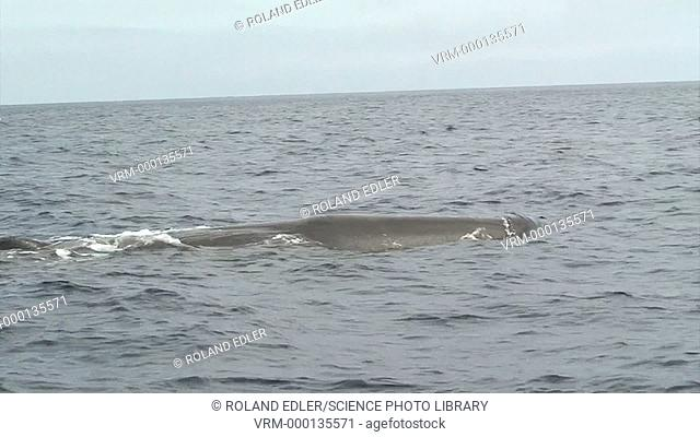 Sperm whale (Physeter macrocephalus) near the water surface. Filmed in the Azores