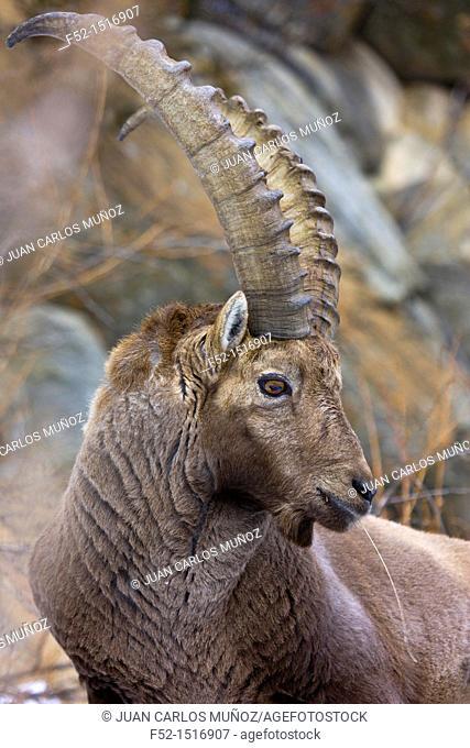 ALPINE IBEX Capra ibex, Gran Paradiso National Park, Valnontey, Aosta Valley, Alps, Italy, Europe