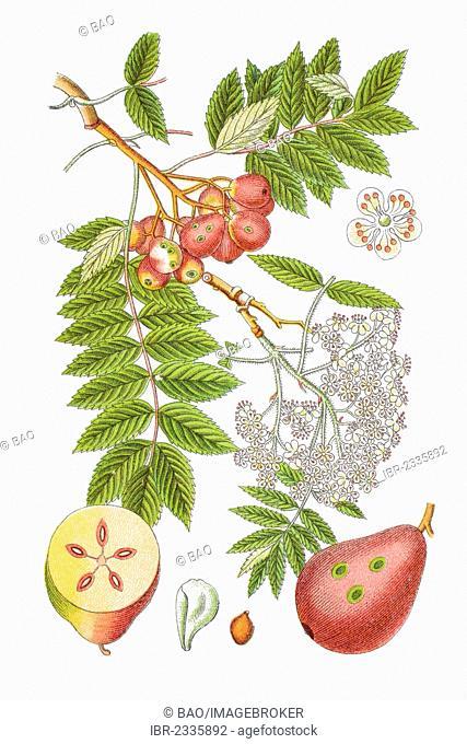 True service tree (Sorbus domestica), a medicinal plant, historical chromolithography, around 1796
