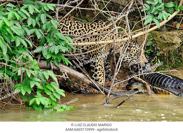 Jaguar (Panthera onca) hunting and killing Spectacled Caiman (Caiman yacare) in the Piquiri Riverand trying to climb a log fallen from the bank of the river