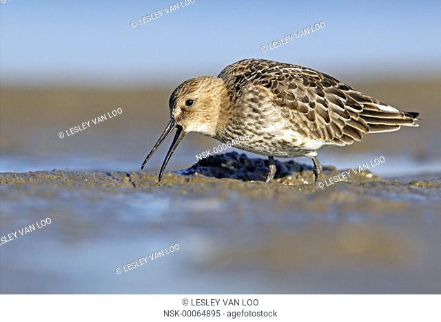 Dunlin (Calidris alpina) foraging on the beach, The Netherlands, Noord-Holland