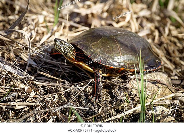 Midland Painted Turtle (Chrysemys picta marginata), Municipality of Gordon/Barrie Island on Manitoulin Island, Ontario, Canada