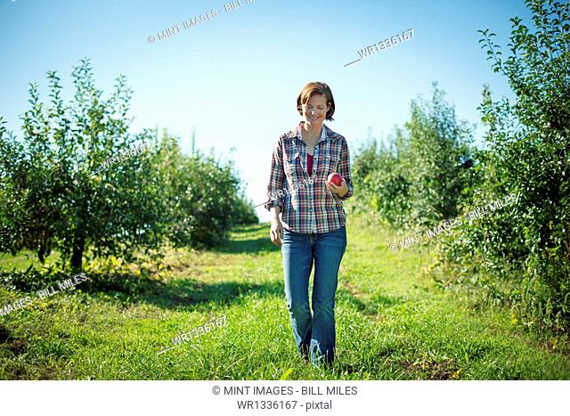 A woman in a plaid shirt picking apples in the orchard at an organic fruit farm
