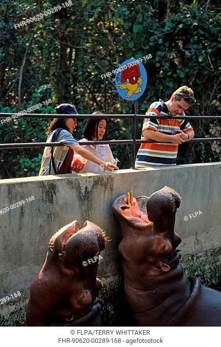 People and animals, River Hippos Hippopotamus amphibus with visitors, Chaing Mai Zoo, Thailand