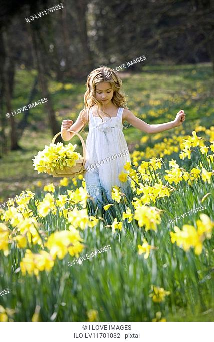 A young girl gathering daffodils in a basket
