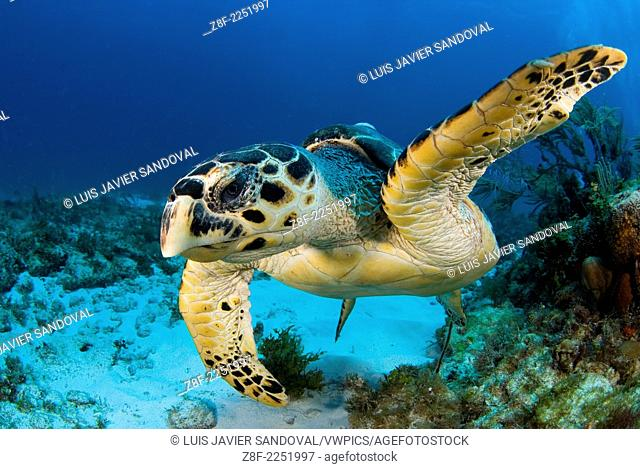 Hawksbill turtle, Eretmochelys imbricata, portrait, Cancun Caribbean sea Mexico