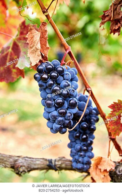 Grenache grape, Vintage, Briones, La Rioja, Spain, Europe