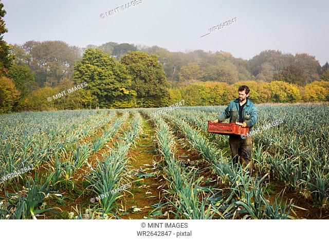 A woman carrying a crate of picked fresh leeks across a field