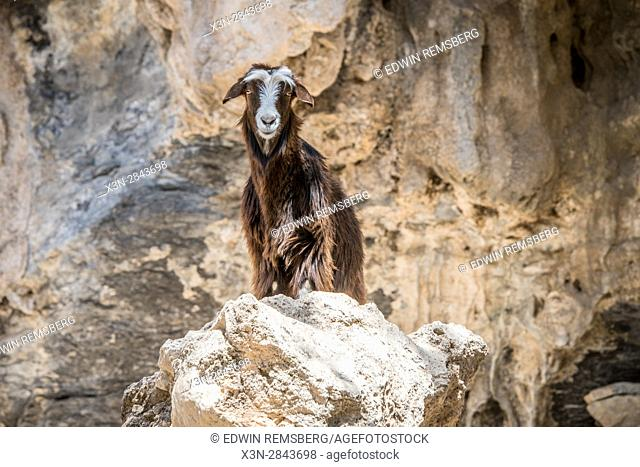 Oman; Goat posing on rock on Jebel Shams