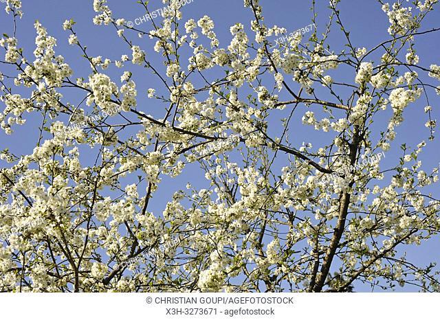 blossoming cherry tree, Eure-et-Loir department, Centre-Val de Loire region, France, Europe