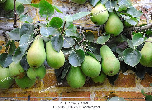 Common Pear Pyrus communis Vicar of Winkfield cordon, with with ripe fruit, in walled garden, Norfolk, England, september