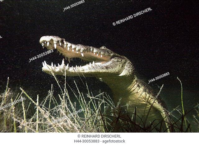 Morelets Crocodile hunting at Night, Crocodylus moreletii, Cancun, Yucatan, Mexico