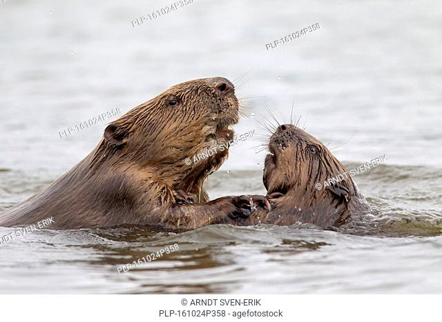 Close up of two Eurasian beavers / European beavers (Castor fiber) fighting in pond