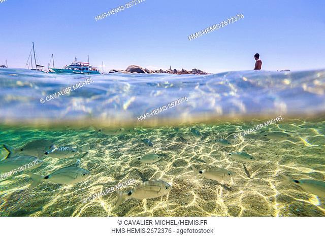 France, Corse du Sud, Bonifacio, Nature reserve of islands Lavezzi, beach of Cala di l' Achiarinu, sea bed and bench of common Sar (Diplodus sargus)