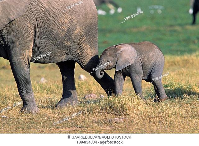 African Elephant herd Loxodonta africana & baby