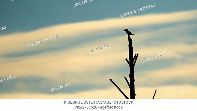 Kingfisher silhouette at Wylie Slough, Headquarters Unit, Skagit Wildlife Area, Washington