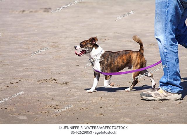 A Boston Terrier and Chihuahua mixed breed dog walking on the beach