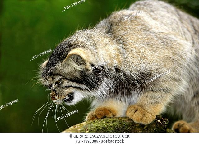 Manul or Pallas's Cat, otocolobus manul, Adult Snarling