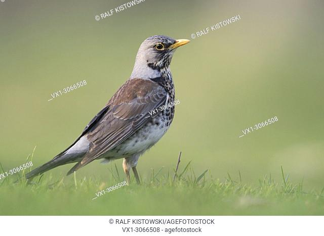 Fieldfare ( Turdus pilaris ) in breeding dress, standing on the ground, grass, watching attentive, low point of view, wildlife, Europe