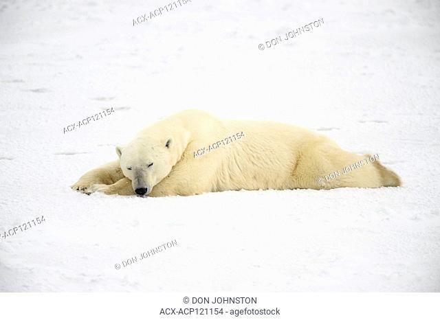 Polar Bear (Ursus maritimus) Sleeping along Hudson Bay coastline, waitoing for sea ice to form