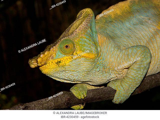 Parson's chameleon (Calumma parsonii parsonii), male, colour variant, yellow lip, rainforest, Ranomafana National Park, Southern Highlands, Madagascar