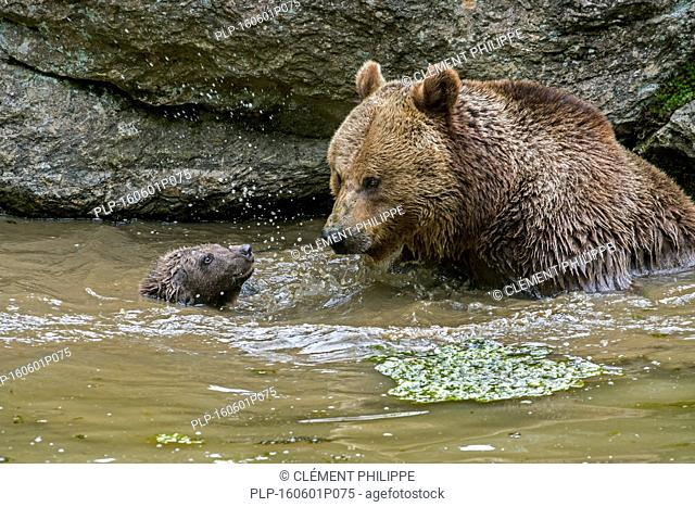 Female brown bear (Ursus arctos) watching cub learning to swim in water of pond in spring
