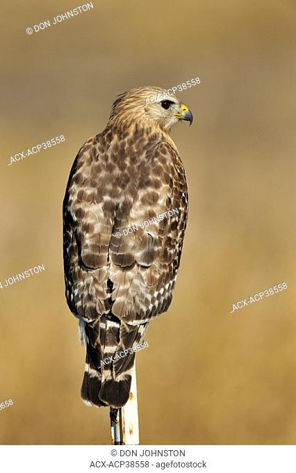 Red shouldered hawk Buteo lineatus, Kissimmee Prairie Preserve State Park, Florida, United States of America