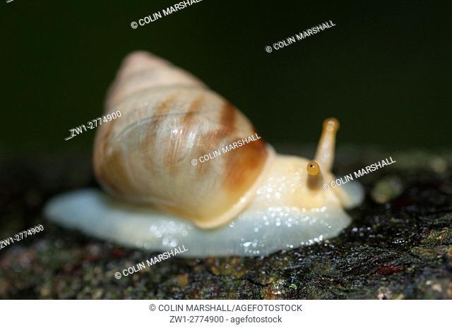 Snail (Amphidromus sp. ), Klungkung, Bali, Indonesia