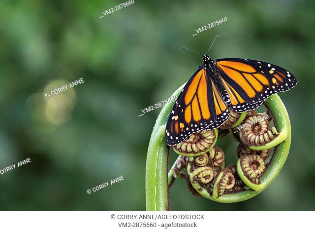 Monarch butterfly resting on a Koru with open wings. New Zealand