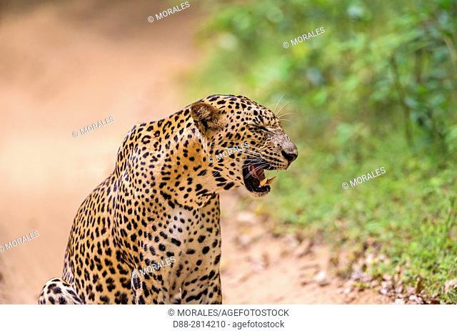 Sri Lanka, Northwest Coast of Sri Lanka, Wilpattu national patk, Sri Lankan Leopard Panthera pardus kotiya), Male grimacing in front of female nearby