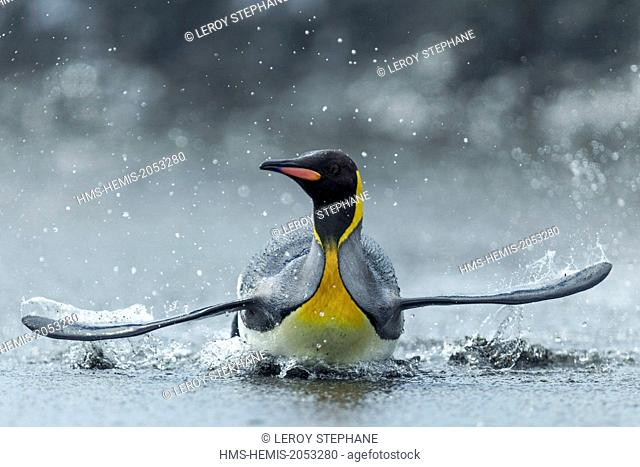 South Atlantic Ocean, South Georgia Island, king penguin (Aptenodytes patagonicus)