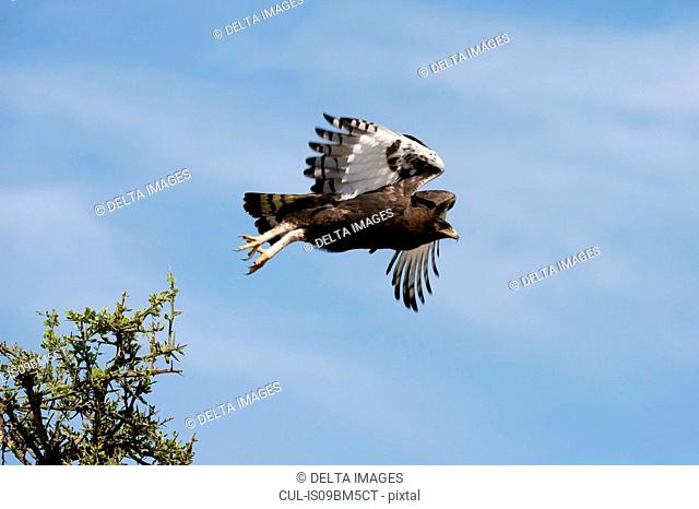 Long-crested eagle (Lophaetus occipitalis), Ndutu, Ngorongoro Conservation Area, Serengeti, Tanzania