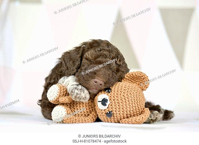 Lagotto Romagnolo. Puppy (5 weeks old) sleeping on its teddy bear. Studio picture. Germany