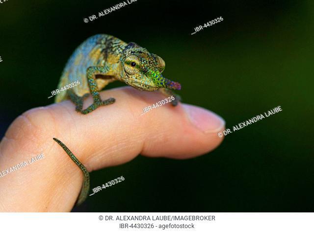 Blade or lance-nosed chameleon (Calumma gallus), male on finger, Vohimana Reserve, eastern Madagascar, Madagascar