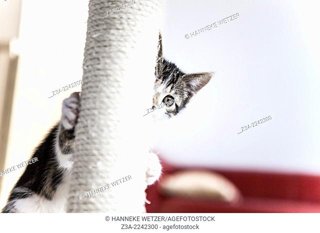 Cute kitten playing hide and seek with a scratching post