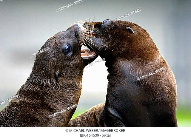 Young California sea lions (zalophus) at play