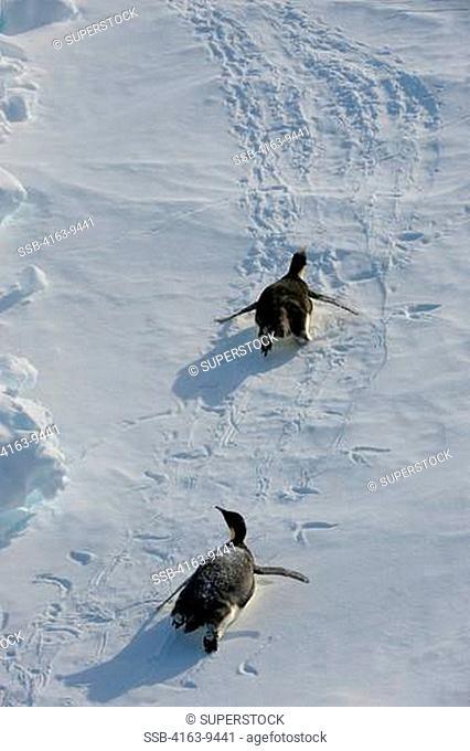 ANTARCTICA, WEDDELL SEA, NEAR SNOW HILL ISLAND, EMPEROR PENGUINS Aptenodytes forsteri ON PACK ICE TOBOGGANING