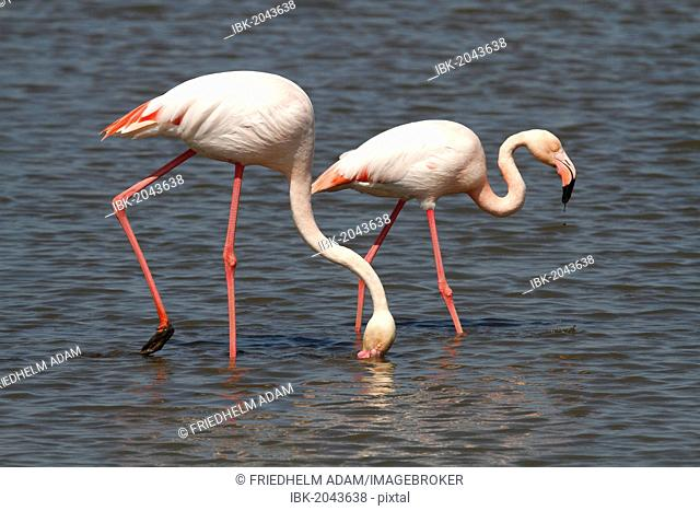 Greater Flamingos (Phoenicopterus roseus) foraging in shallow water, Camargue, France, Europe