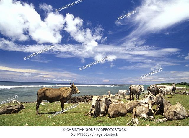 cattle at the seaside, Sumba island, Lesser Sunda Islands, Republic of Indonesia, Southeast Asia and Oceania