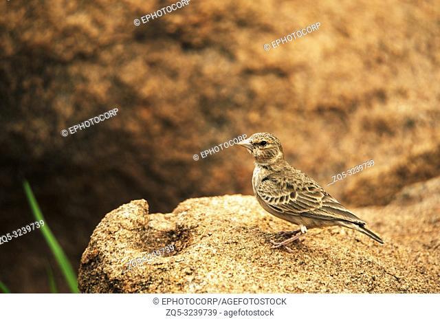 Ashy-crowned Sparrow-lark, Eremopterix griseus, Hampi, Karnataka, India