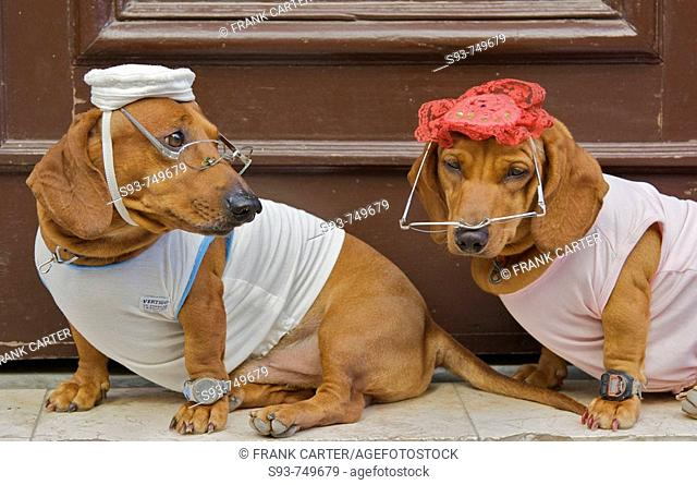 Two dogs dressed up in shirts, hats, eye glasses, and watches