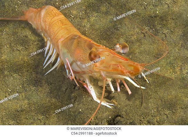 Deep-water pink shrimp (Parapenaeus longirostris). Eastern Atlantic. Galicia. Spain. Europe