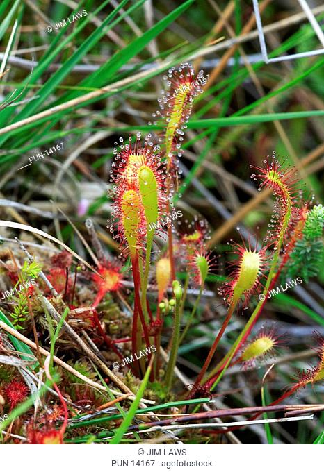 Close-up of an oblong-leaved sundew Drosera intermedia at Beeston Common, near Sheringham, Norfolk, England