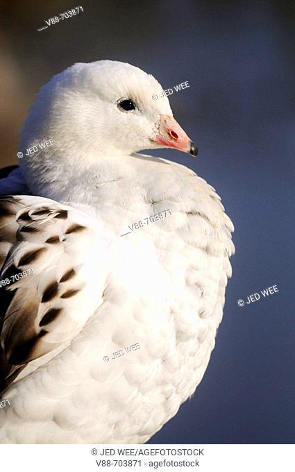 Andean Goose (Chloephaga melanoptera), Washington Wildfowl and Wetlands Trust, Tyne and Wear, England