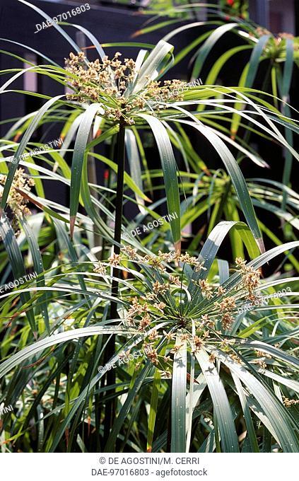 Umbrella Plant or Umbrella Sedge (Cyperus involucratus), Cyperaceae