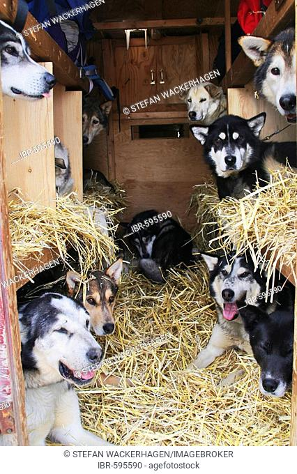 Sled dogs being transported in a truck, Muktuk Kennels, Yukon Territory, Canada